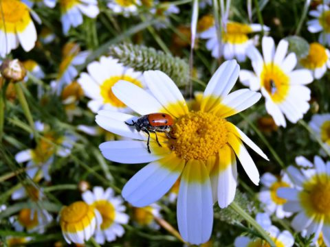 Daisies, ladybugs, and beetles are all good things for DIY garden pest control.