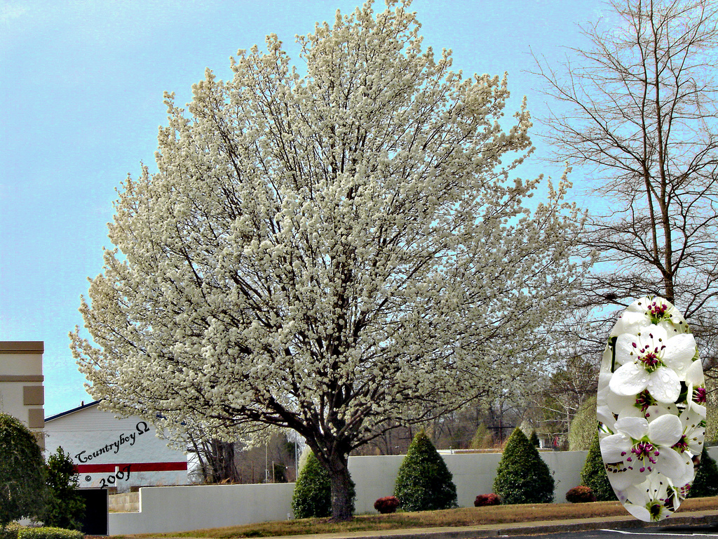 Bradford Pear Tree And Blooms By Countryboy1949 Jpg