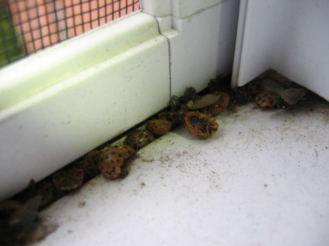 The end result of a ladybug infestation in the fall is lots of dead ladybugs