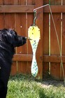 Our dog sniffing the actual Japanese Beetles which line the rim of the Bag-a-Bug trap.
