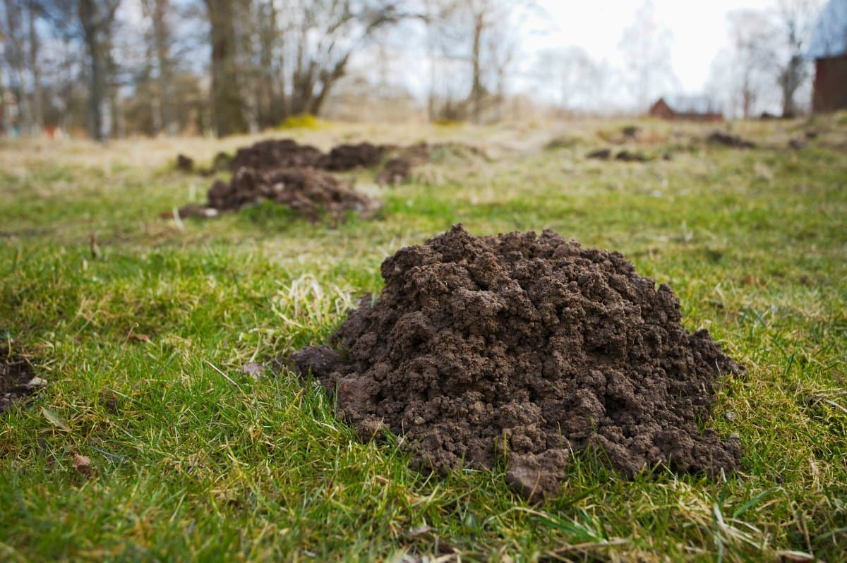 Your mole mounds might not be this large, but it's not the size that matters... it's the ability of moles to dig up your yard and garden!