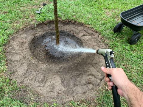 After planting a new tree it's vital to water it a lot.