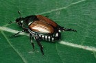 A Japanese Beetle close up.