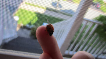 Got A Ladybug Infestation? Here's What To Do If Ladybugs Are Invading Your Home