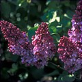 A purple lilac... an example of the types of plants available at<br /> Free Trees and Plants.