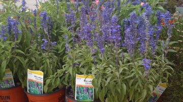 Are Red & Purple Salvia Plants The Ones Used When Smoking Salvia?