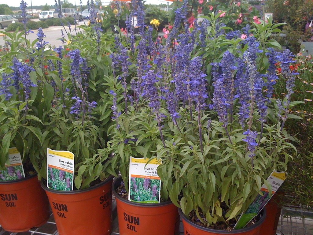 Are Red & Purple Salvia Plants