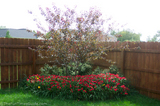 red-japanese-maple-tree-2-and-a-half-years.jpg