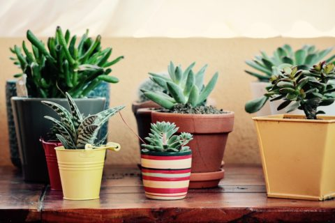 Succulents are great plants for the indoors.