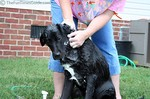 Giving Tenor a bath in the backyard last week while wearing my favorite ratty old OP T-shirt.