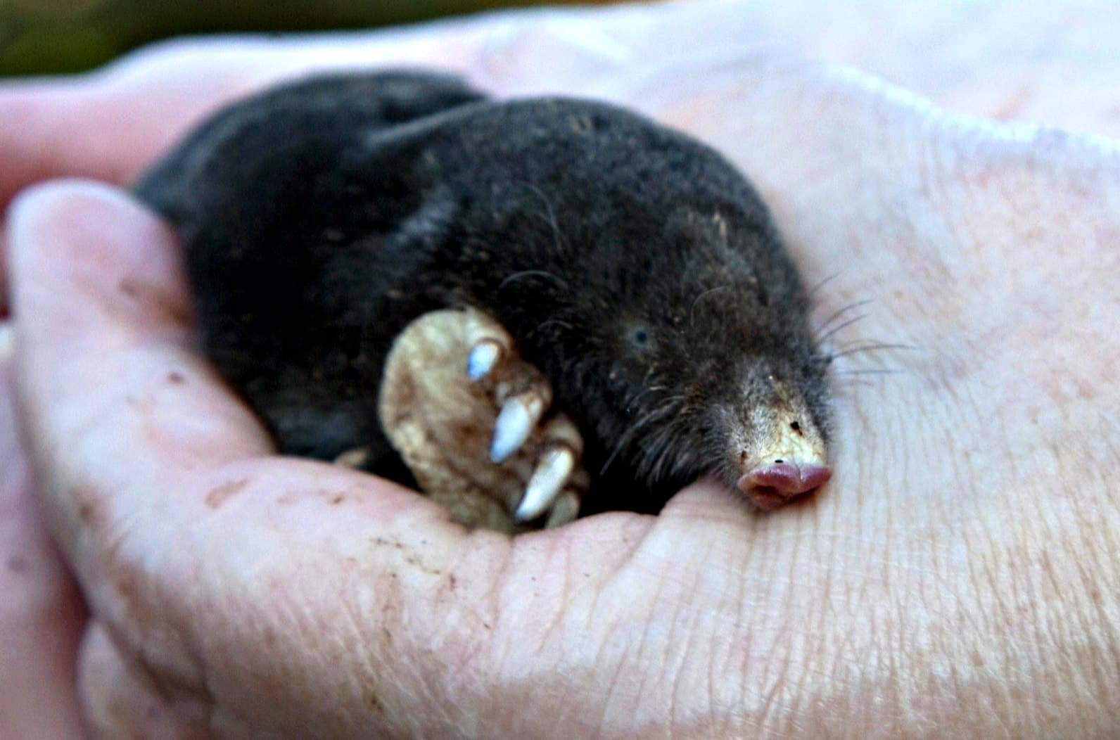 Before you try mole poison, please try the more humane methods of ground mole removal first.