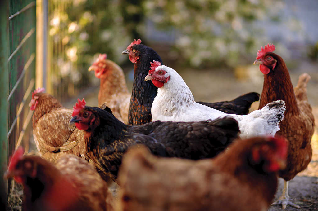 What you need to know before buying egg laying chickens.